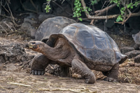 Giant Tortoise of Darwin Station Puerto Ayora, Galapagos, Ecuador, South America