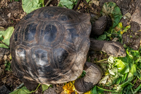 20140512154742-female_tortoise