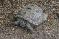 20140515142106-Giant_tortoise_of_Urbina_Bay