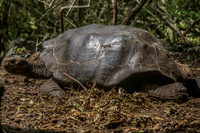 Giant Tortoise in San Cristobal Breeding Center Baquerizo Moreno, El Progreso, El Junco, Puerto China, Galapagos, Ecuador, South America
