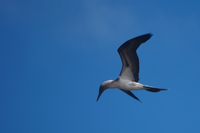 blue_footed_booby_flying