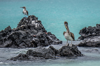 20140510132543-Pelican_and_Blue_Footed_Booby