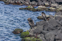 Flightless Cormorant on Fernandina Fernandina Island, Galapagos, Ecuador, South America