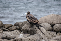 20140510100837-Younger_female_frigate_bird