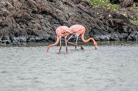 galapagos_greater_flamingos