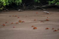 20140514081307-Ghost_Crabs