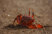 20140514081449-Ghost_Crabs
