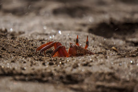 20140514081548-Ghost_Crabs