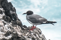Swallow-tailed Gull Baquerizo Moreno, Galapagos, Ecuador, South America