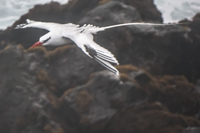 RED-BILLED TROPICBIRD Baquerizo Moreno, Galapagos, Ecuador, South America