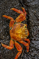 Sally Lightfoot Crab Puerto Ayora, Galapagos, Ecuador, South America