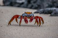 Sally Lightfoot Crab Grapsus Grapsus Puerto Ayora, Galapagos, Ecuador, South America