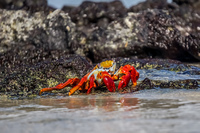 Sally lightfoot Crab - Grapsus grapsus Sombrero Chino, Rabida, Galapagos, Ecuador, South America