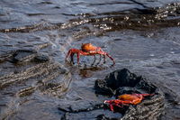 Sally lightfoot crab on James bay Isla Santiago, Galapagos, Ecuador, South America