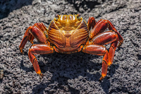 Sally lightfoot crab on Fernandina Fernandina Island, Galapagos, Ecuador, South America