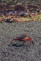 Young Sally lightfoot crab  on Fernandina Fernandina Island, Galapagos, Ecuador, South America