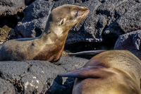 20140513085743-Baby_sea_lion_and_mom_sombre_chino