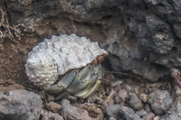 20140521165029-Hermit_crab_of_La_Loberia