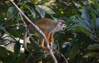 Squirrel Monkey Amazon Lago Agrio, Nueva Loja Cuyabeno Reserve, Ecuador, South America
